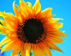 Les tournesols suivent-ils vraiment le soleil ?