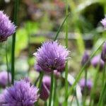 Comment créer un massif de plantes aromatiques