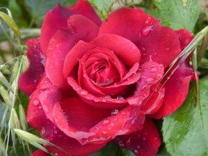 Comment planter vos rosiers ?