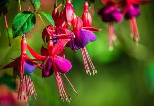Tout savoir sur le Fuchsia