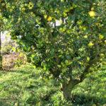 Quelles sont les différentes formes libres des arbres fruitiers ?