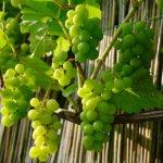 Quelles sont les différentes formes palissées des arbres fruitiers ?
