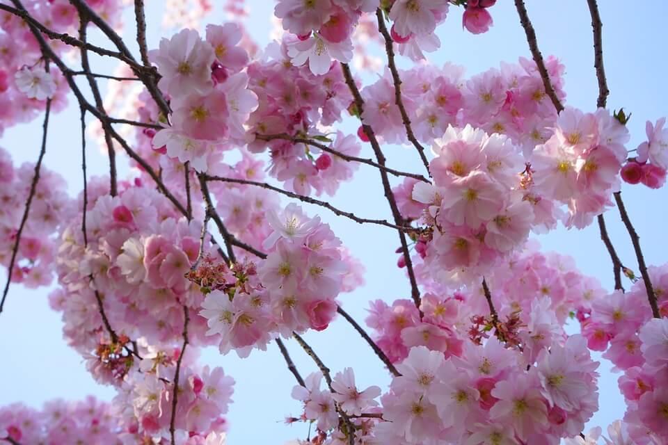 Tout Savoir Sur Le Cerisier A Fleurs Le Blog De Jardinet Fr