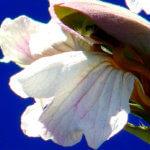 L'abécédaire des principales espèces et variétés de fleurs : A