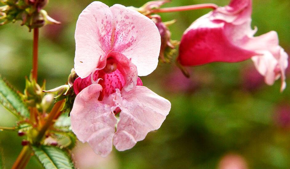 L'abécédaire des principales espèces et variétés de fleurs : B