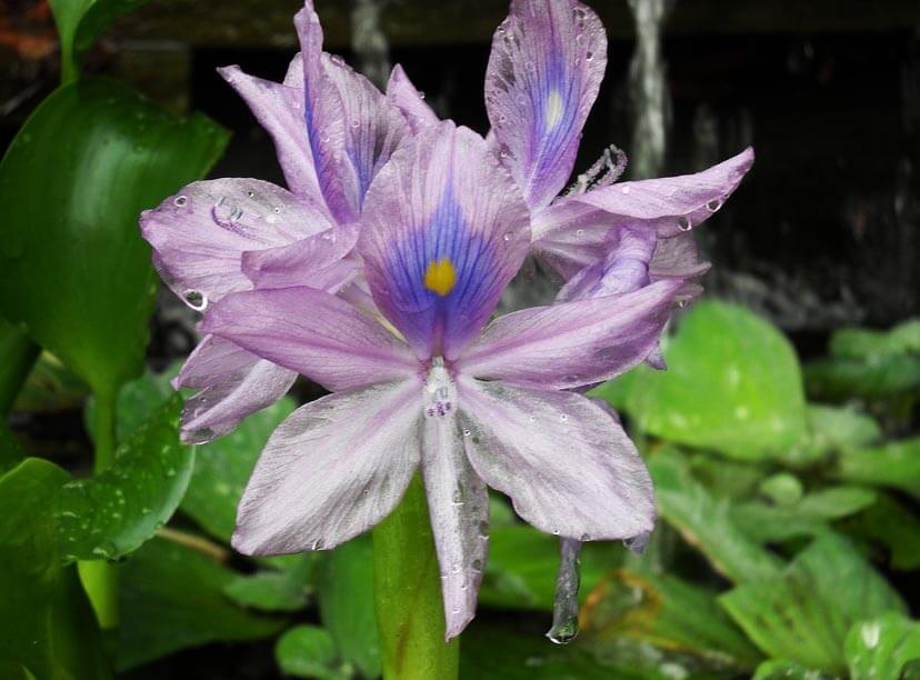 Quelles sont les principales espèces et variétés de plantes aquatiques ?