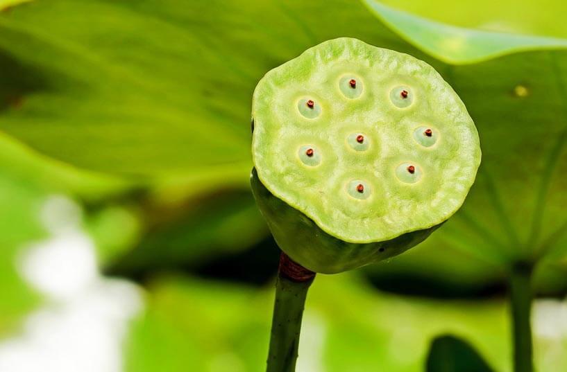 Tout savoir sur le lotus