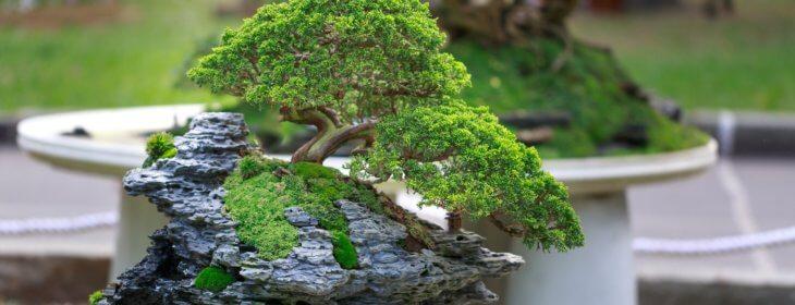 Tout savoir sur le bonsaï