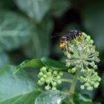 Tout savoir sur le frelon asiatique