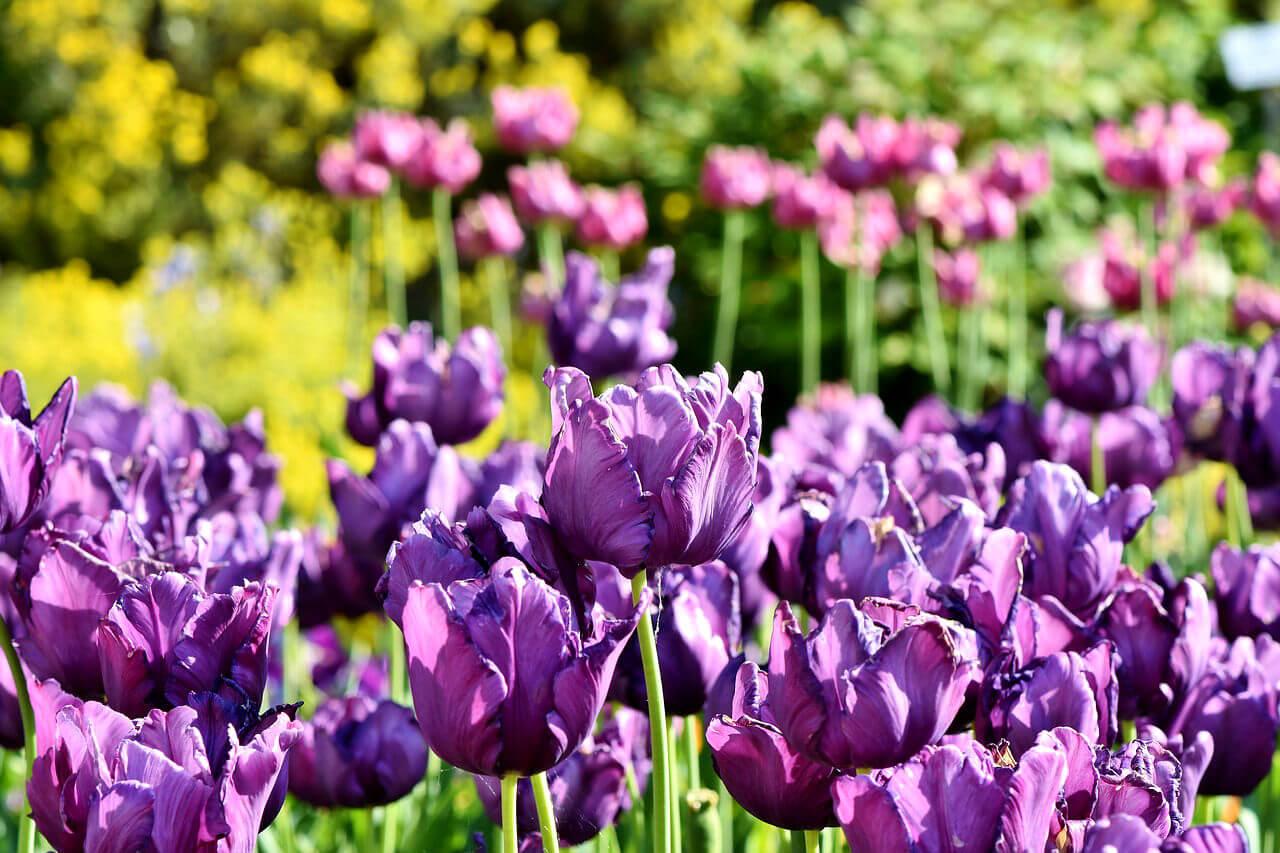 """Tout savoir sur la tulipe """"Blue parrot"""""""