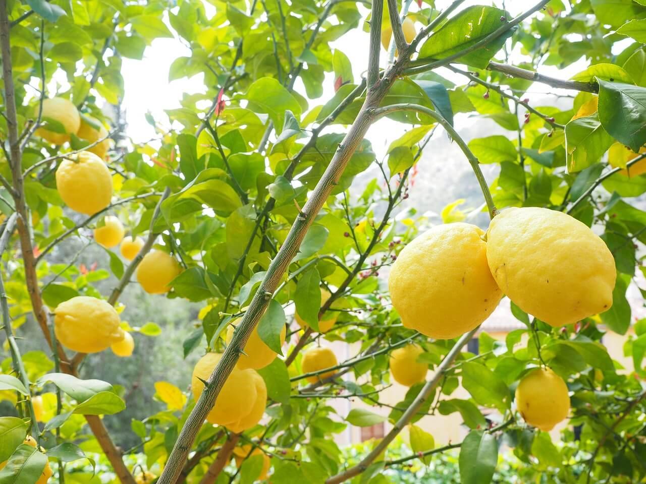Tout savoir sur le citronnier