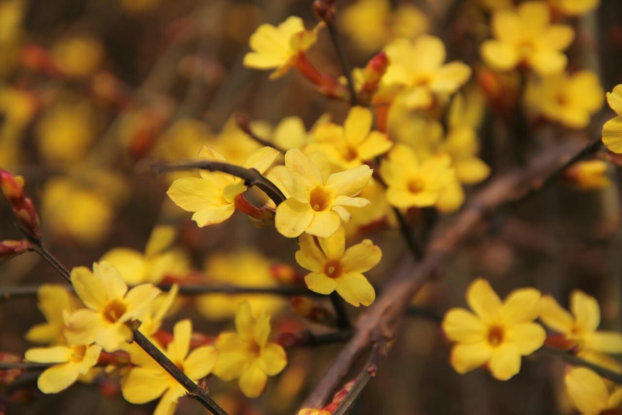 Tout savoir sur le jasmin d'hiver