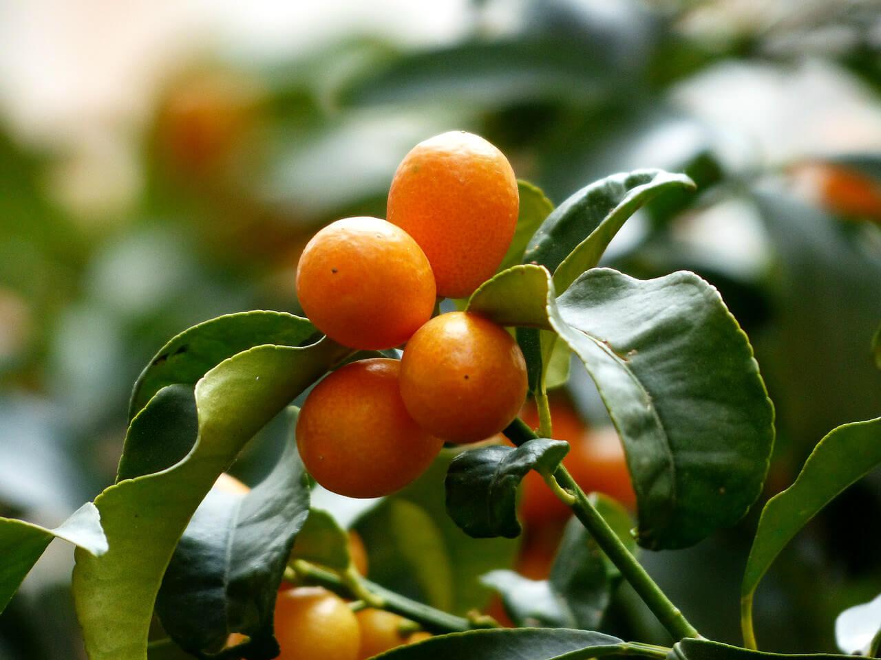 Tout savoir sur le kumquat
