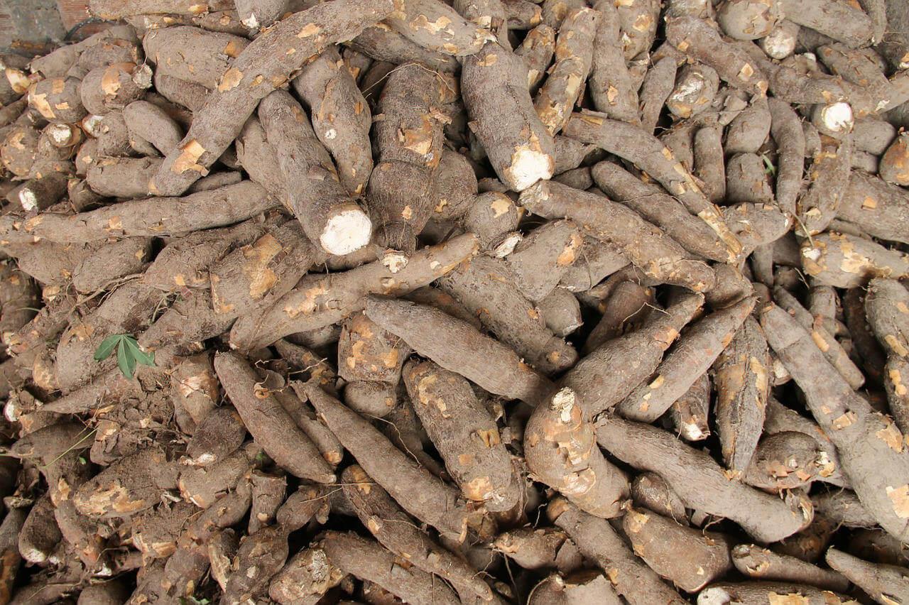 Tout savoir sur le manioc