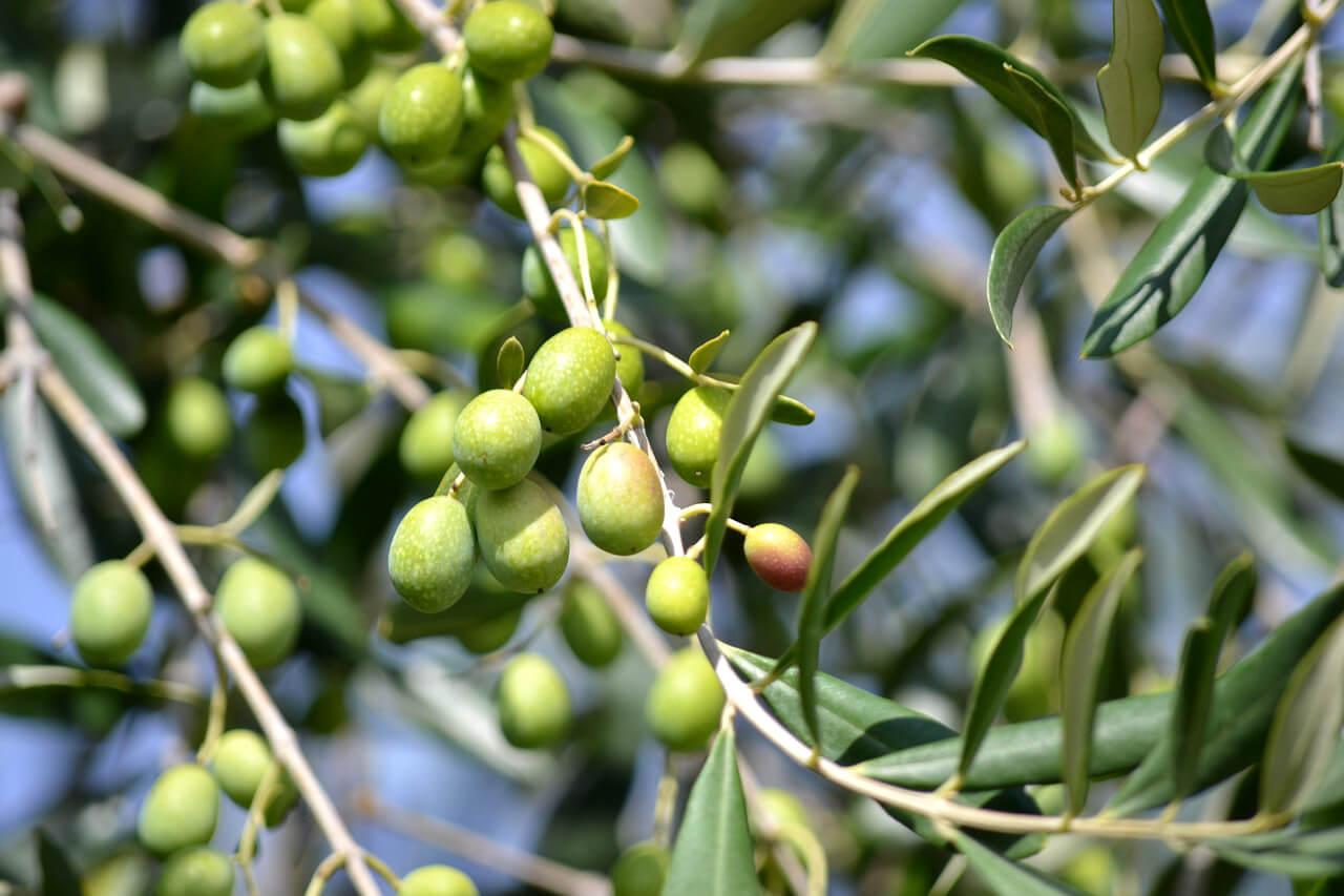 Tout savoir sur l'olivier