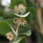 Tout savoir sur l'eucalyptus
