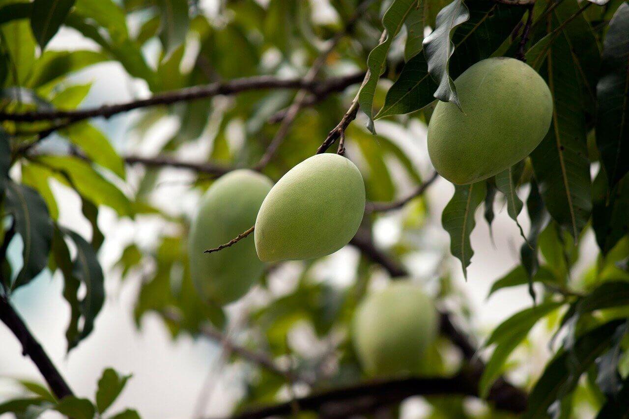 Tout savoir sur le manguier