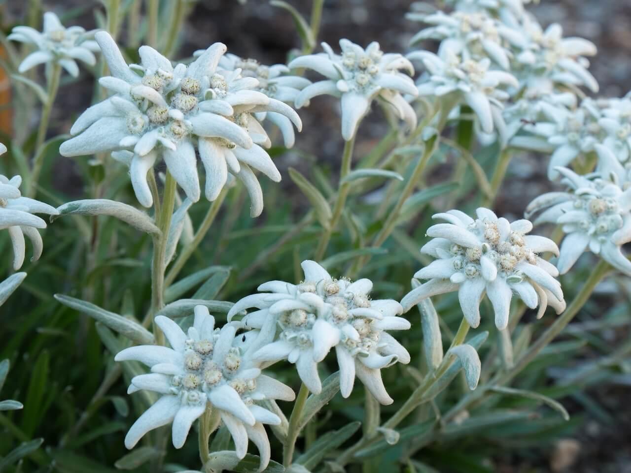 Tout savoir sur l'edelweiss