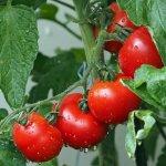 Protéger les tomates