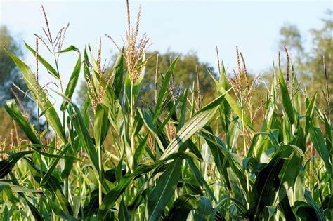 Tout savoir sur le maïs