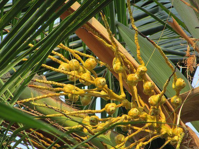 Tout savoir sur le cocotier
