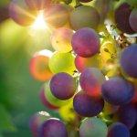 Vigne à raisins