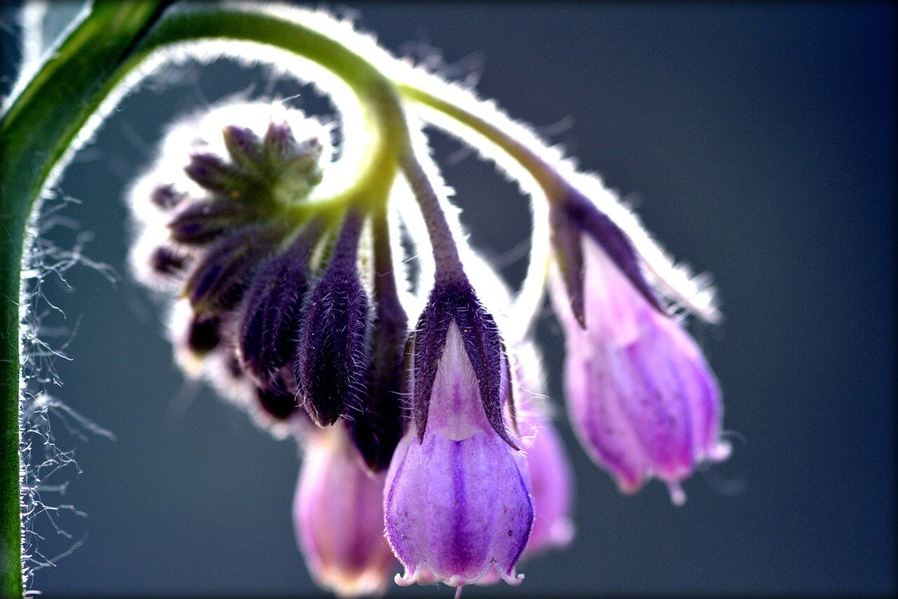 La consoude est une belle plante médicinale que vous apprécierez certainement au potager. Ses fleurs en forme de petites clochettes décorent le jardin, le balcon ou la terrasse. Appelée également plante aux milles vertus, continuez pour tout savoir sur la consoude.