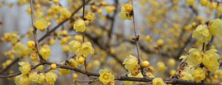 Tout savoir sur le Chimonanthe