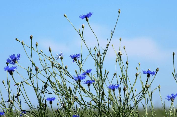 Fleur bleue - Bleuets