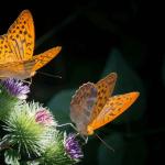 Phéromones et insectes