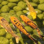 Installer des poissons dans votre bassin